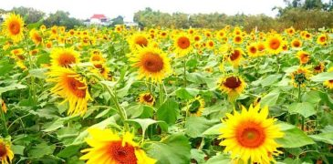 Cánh đồng hoa hướng dương gần Hội An