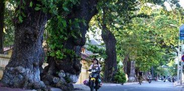 Cây bàng thăng trầm cùng người dân Côn Đảo