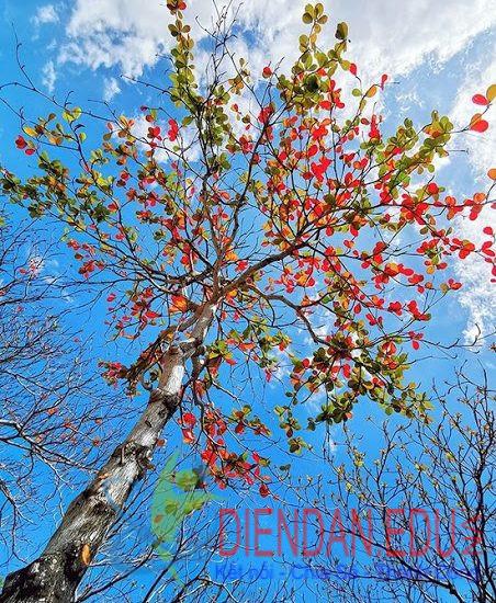 Hội An mùa cây bàng lá đỏ